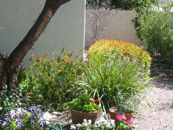 An assortment of desert landscaping plants to add colour to this backyard.