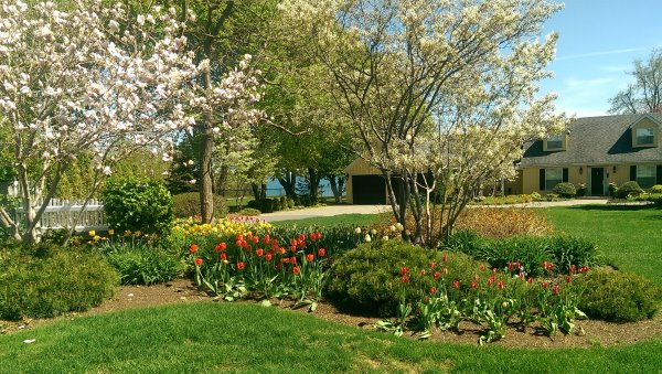 This front yard garden bed on a lakefront property is coming alive in the spring with blossoms and tulips.