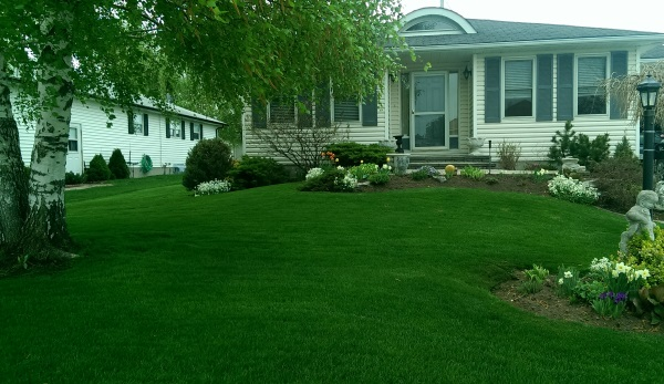 A large birch tree overshadows a lovely little front yard with some informal garden beds with nice flowing curves around a well manicured lawn.