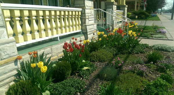 A no mow front yard  using mulch, groundcovers, tulips and some assorted perennials to dress up an older home with a brightly painted front porch.