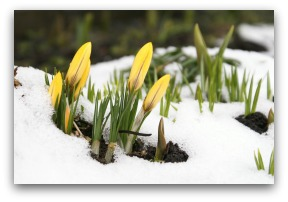 Spring crocus poking through the snow.