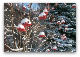 Snow covered berries on mountain ash tree.
