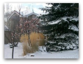 Ornamental grasses sway in the breeze giving life to a yard that is blanketed with snow.