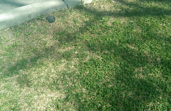 Topdressing lawns can be done for a few reasons. This lawn is doing poorly and the soil has settled from the curb height. Learn more about topdressing here.